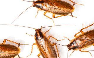 Все о тараканах
