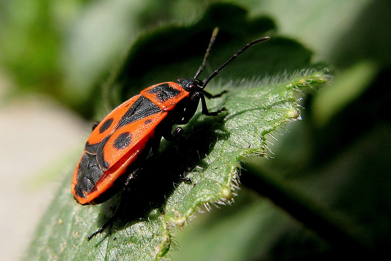 Фото красноклопа бескрылого - Pyrrhocoris apterus