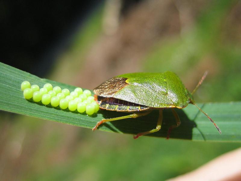 Фото зеленого клопа - Palomena prasina с кладкой яиц