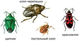 Изображение клопов щитников - Pentatomidae