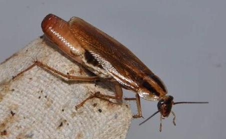 беременный таракан фото