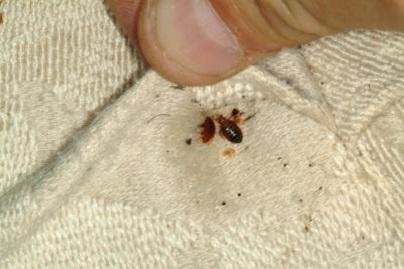 клопы скрытные насекомые