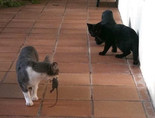 кошки против крыс фото