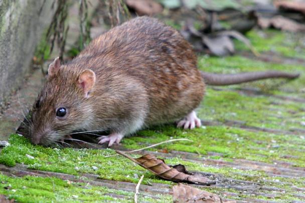 крыса на природе фото