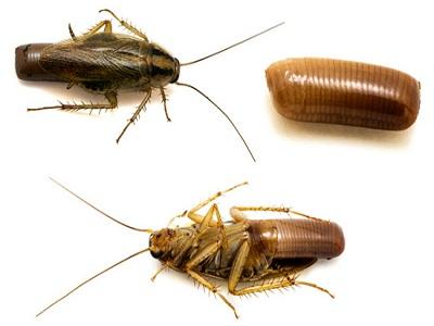 самка таракана с оотекой фото