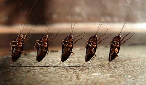 тараканы организованы фото