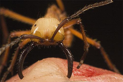 Укус кочевого муравья Сифау