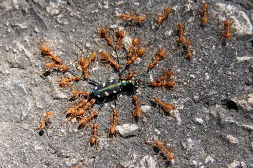 атака муравьев на жука