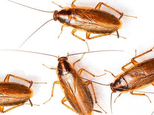 популяция таракано