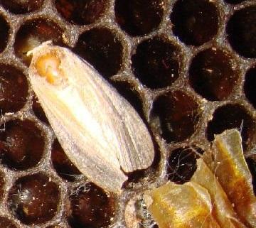взрослая пчелиная моль
