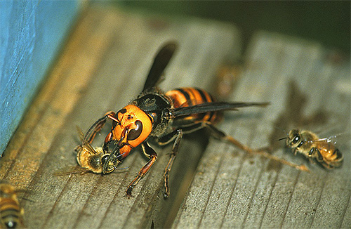 Атака шершня на пчел