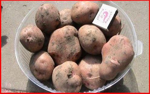 Брянский надежный сорт картофеля