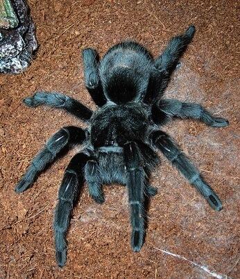 Черный тарантул фото