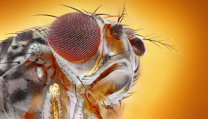 Фруктовая мошка под микроскопом