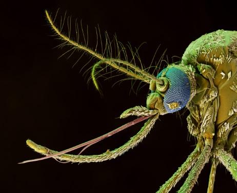 Голова комара под микроскопом