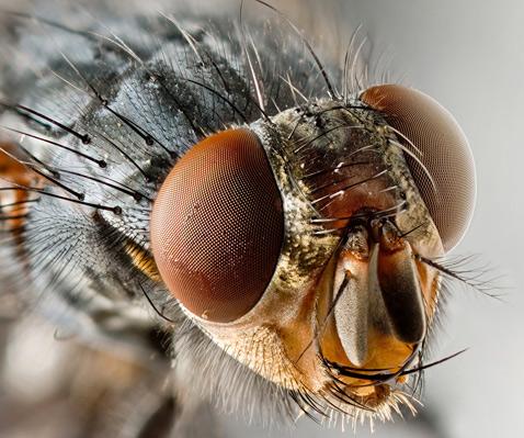 Голова мухи под микроскопом
