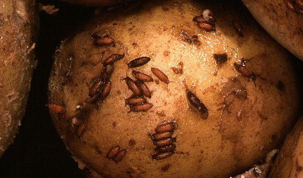 Куколки и личинки дрозофил