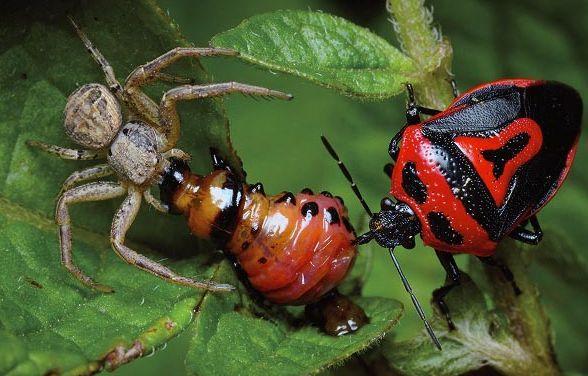 Паук и хищный клоп поедают колорадского жука