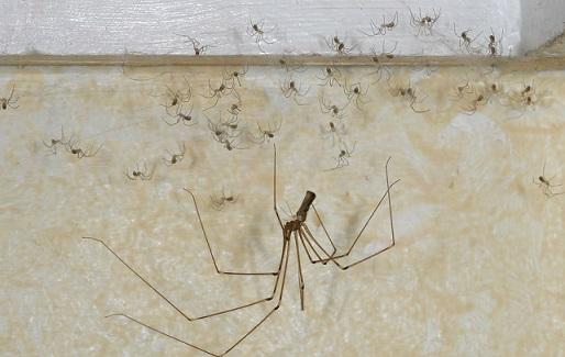 Пауки сенокосцы в доме фото