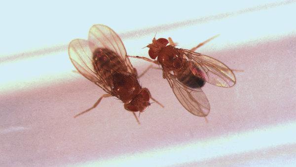 Самка и самец дрозофилы