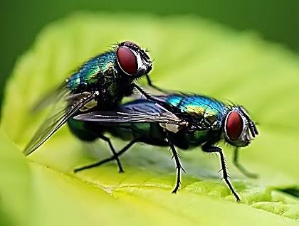 Спариванье мух