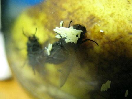 Выкладка яиц мухи