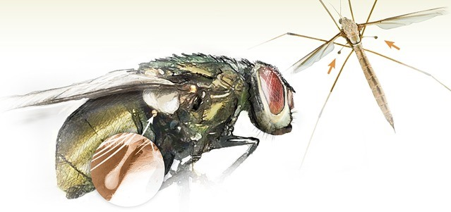 Жужжальца мухи фото