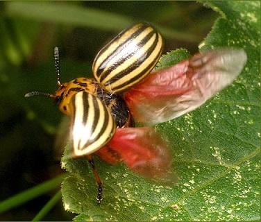 колорадский жук летает