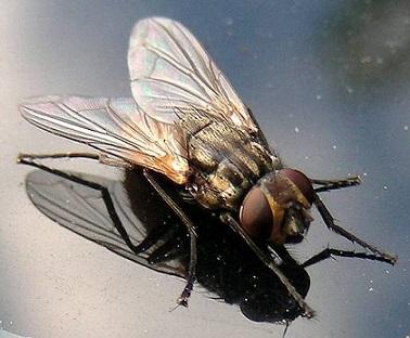 комнатная муха фото