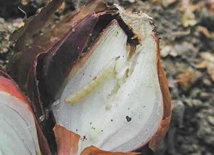 личинка луковой мухи выгрызвет ходы