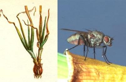 луковая-муха