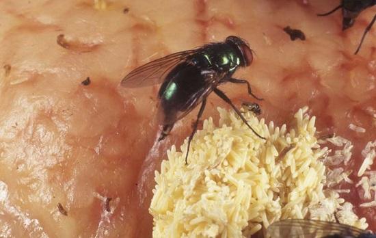 муха откладывает яйца