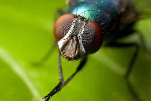 муха в близи