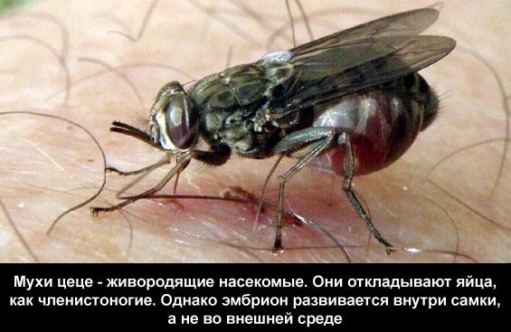 питание мухи це це