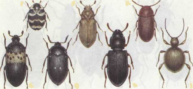 расзовидности жуков кожеедов