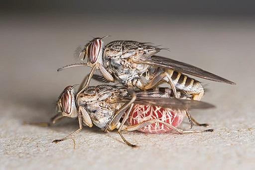 спаривание мух цеце
