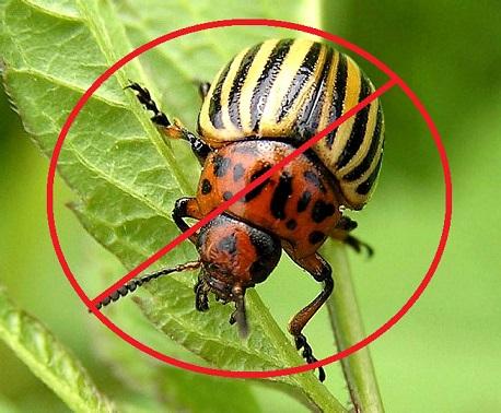 защита от колорадского жука