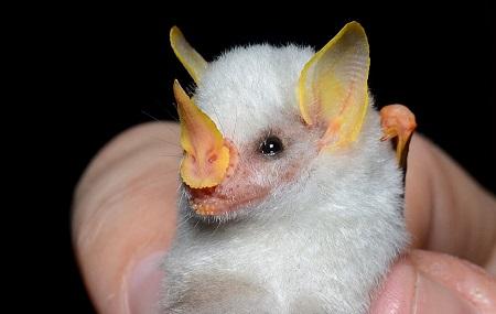 Белая летучая мышь