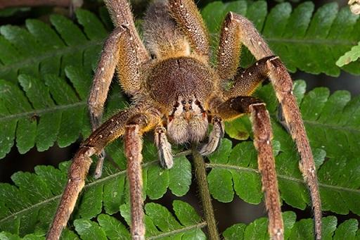 Бразильский паук бегун фото