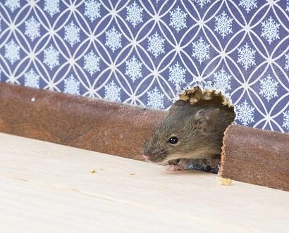 Что делать если завелась мышь в квартире