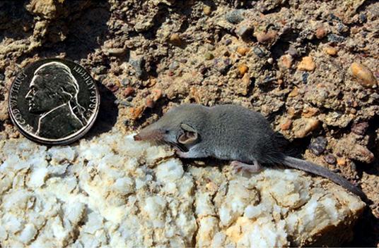 Этрусская землеройка - самый маленький млекопитающий в мире