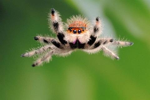 Фото паука прыгуна