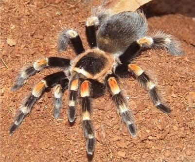 Фотография паука птицееда