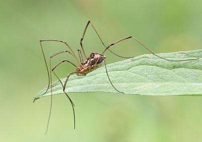 Изображение паука сенокосца