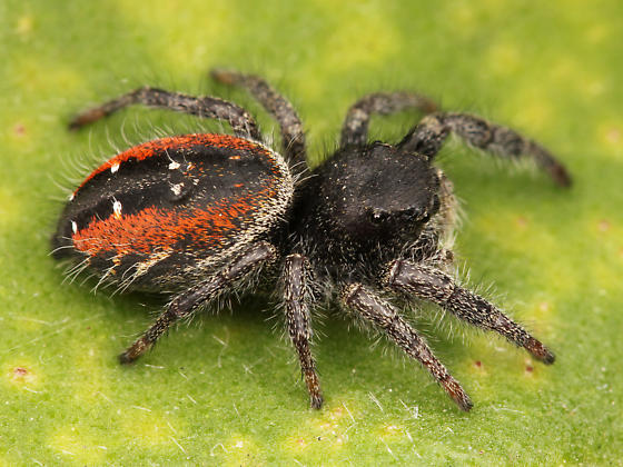 Красноспинный паук скакун
