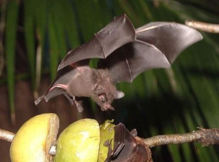 Летучая мышь очковый листонос