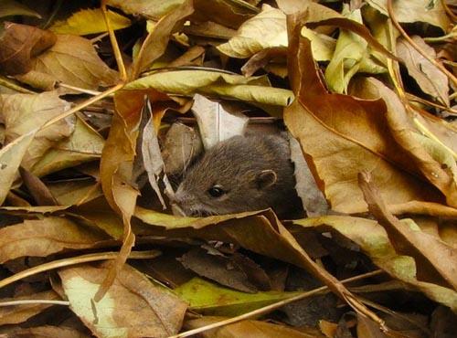 Мыши активны осенью
