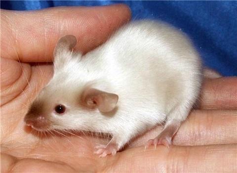 Сатиновая мышь