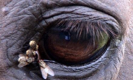 Слепни нападают на крупный рогатый скот