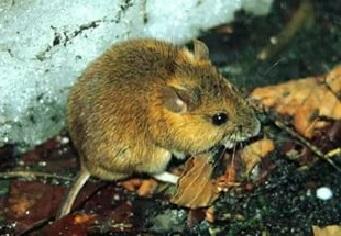Японская лесная мышь